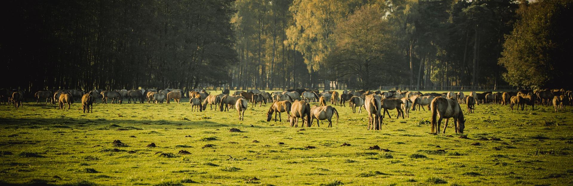 Koně na podzimní pastvě
