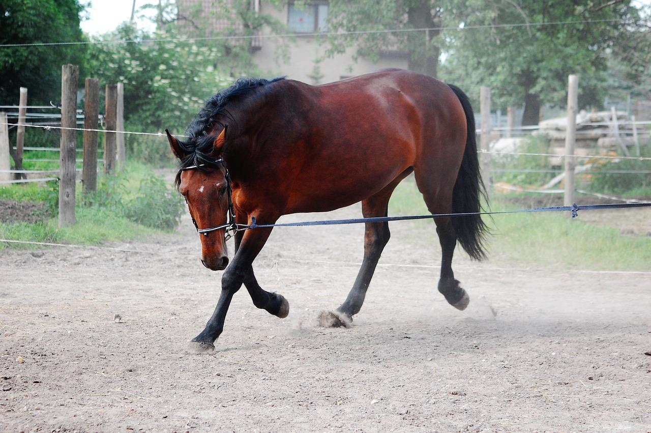 Kůň na lonži
