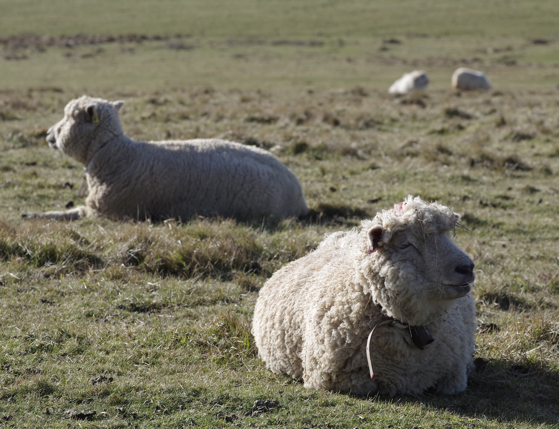 Merino ovce na pastvě