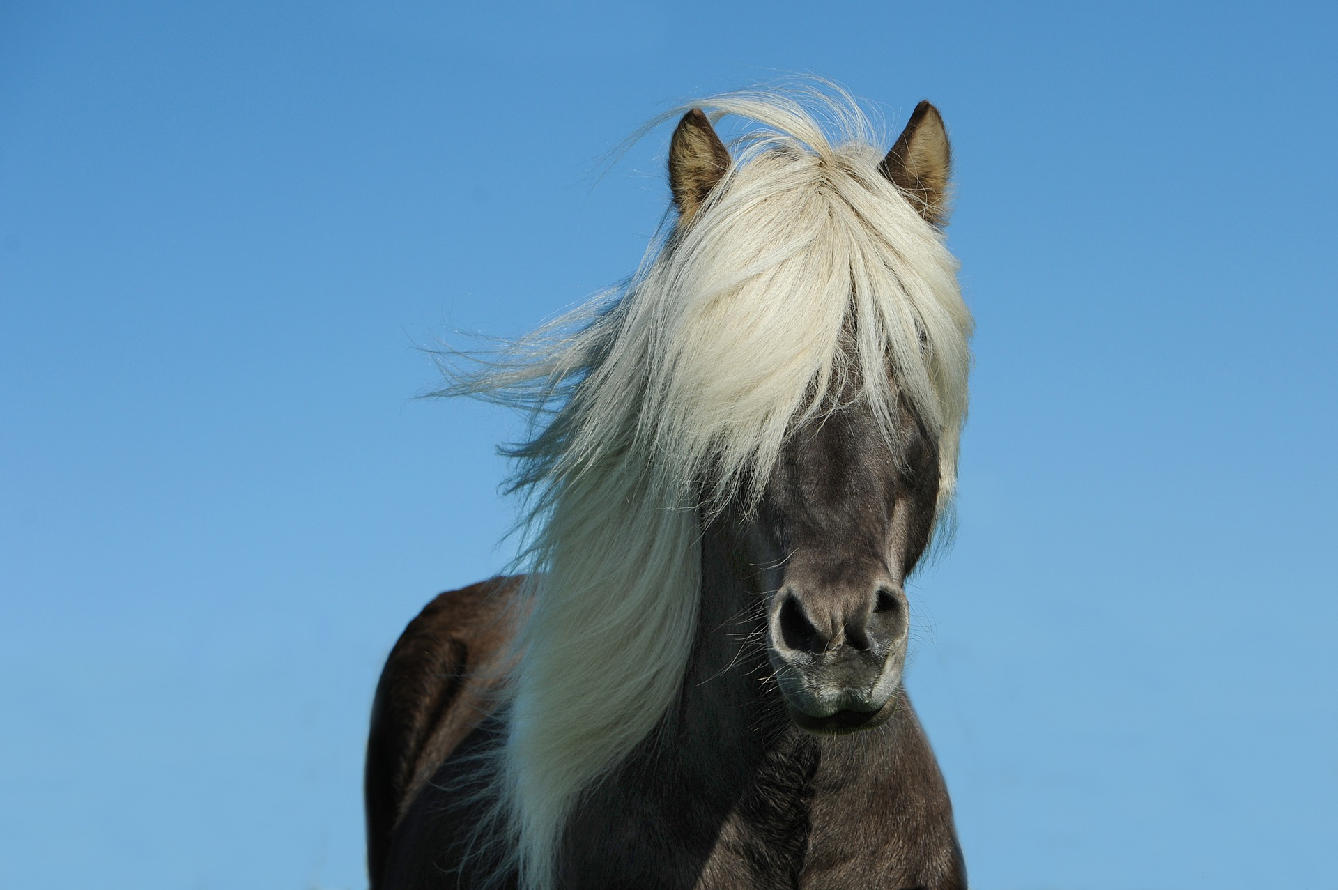 Bohatá hříva i kštice jsou známkou zdravého koně
